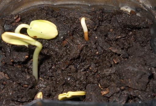 Carrubo da seme - 10 giorni dopo la semina