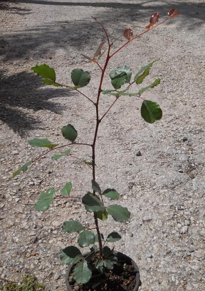 Carrubo dopo circa un anno e mezzo dalla semina