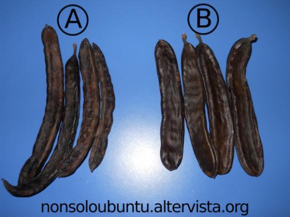 Differenza tra carrubo prodotto da albero non innestato (A) e innestato (B)