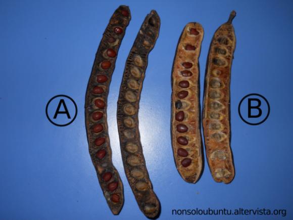 Differenza tra carrubo prodotto da albero non innestato (A) e innestato (B) - Frutto sezionato