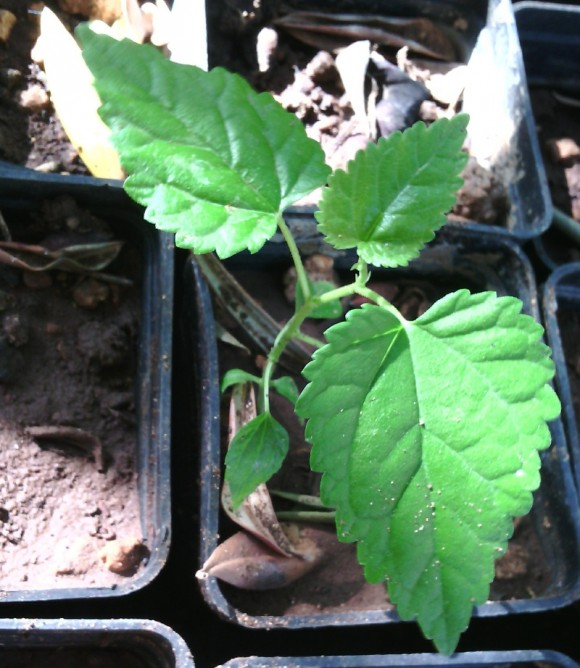 Kiwi dopo un mese e mezzo  dalla germinazione