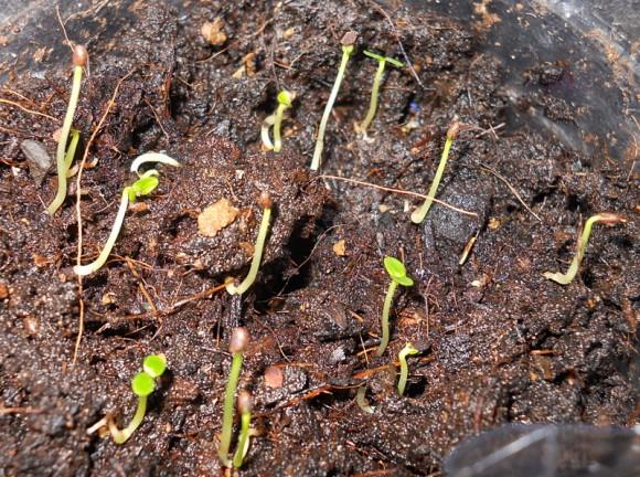 Kiwi dopo 10 giorni dalla germinazione
