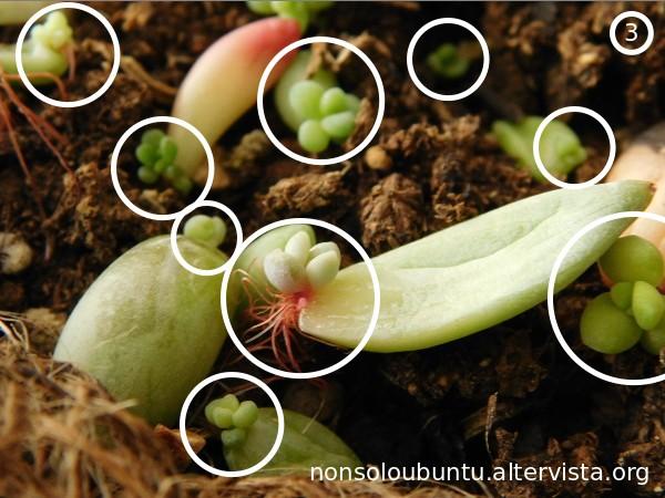 Succulent propagation from leaf - Propagazione succulente da foglia
